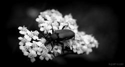 Black, black, black beetle..