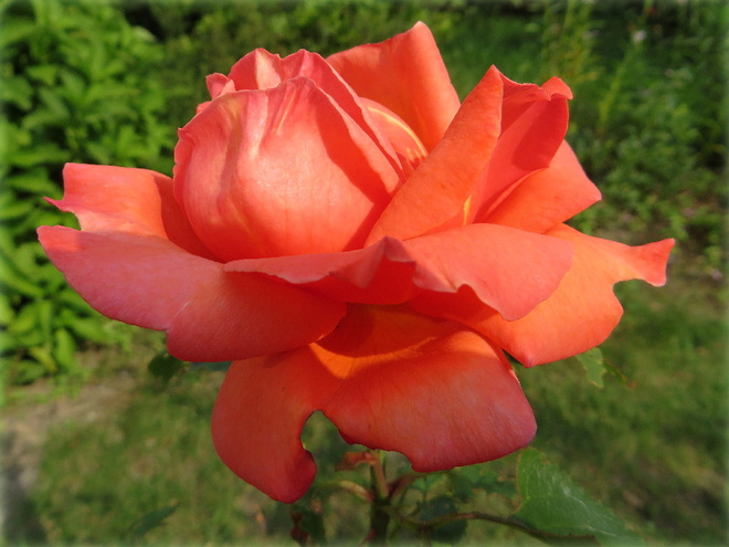 Róży Kwiat Galeria Swiatobrazupl
