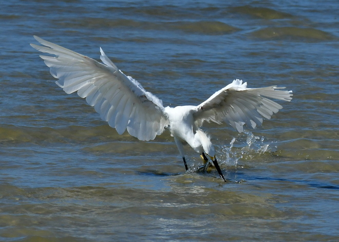 Little Egret - poluje (3)