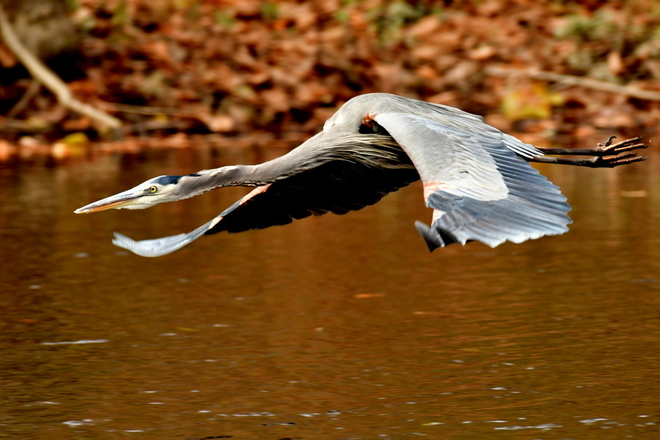 Great Blue Heron/Czapla modra