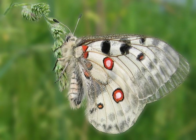 Niepylak apollo (Parnassius apollo)