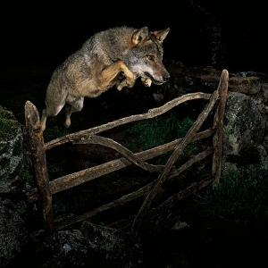 Dyskwalifikacja zwycięzcy Wildlife Photographer of the Year 2009 - skandal w pełnym rozkwicie