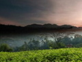 The Perfect Brew - krótki dokument o herbacie nakręcony aparatem Canon EOS 5D Mark II