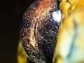 Suren Manvelyan - ekstremalne makro zwierzęcych oczu