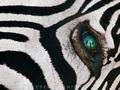 100 najbardziej zaskakujących zdjęć świata: Frans Lanting, Myśliwi w oczach martwej zebry