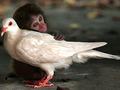 100 najbardziej zaskakujących zdjęć świata, Jianbin Huo Chin, Małpa i gołąb