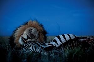 Intymne portrety lwów z Równiny Serengeti