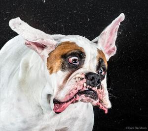 """Wstrząsające miny psów Carli Davidson zostały wydane w książce """"Shake"""""""
