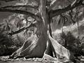 Beth Monn przez 14 lat wykonywała portrety najstarszych drzew na świecie