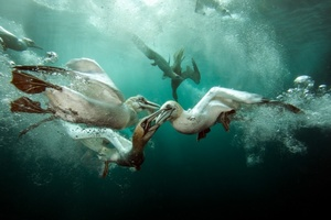 Najlepsze podwodne fotografie, czyli zwycięskie zdjęcia konkursu Underwater Photographer Of The Year 2015