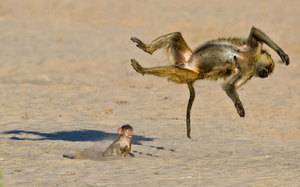Najśmieszniejsze zdjęcia dzikich zwierząt - konkurs  Comedy Wildlife Photography Awards
