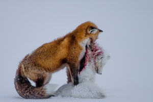 Konkurs Wildlife Photographer of the Year 2015 rozstrzygnięty - zobacz zwycięskie fotografie