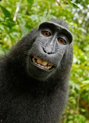 Makak nie ma praw autorskich - jest wyrok w sprawie selfie małpy