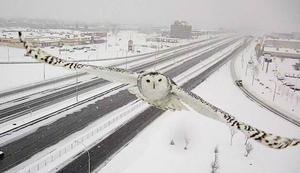 Zdjęcie sowy śnieżnej uchwyconej przez monitoring bije rekordy popularności
