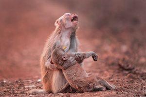 Rozpacz małpy z nieprzytomnym dzieckiem w ramionach - fotograf uchwycił wyjątkowy obraz emocji u zwierząt