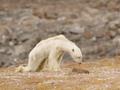 Umierający z głodu niedźwiedź polarny - wstrząsające ujęcia Paula Nicklena