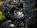Kameralny portret rodzinny - zabawna sesja rodziny goryli w Kongo